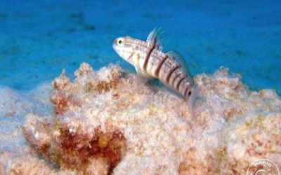 Ambleycobius albimaculatus Tailspot reef Gobi